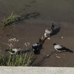 Вороны пытаются отобрать у серой чайки добычу.