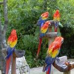 Попугаи красный ара.