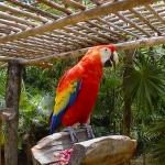 Попугай красный ара.