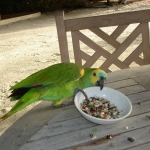 Попугай пытается утащить тарелку.