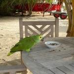Зелёный попугай.
