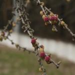 Цветёт лиственница.