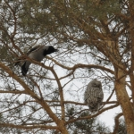 Ворона пытается прогнать сову.