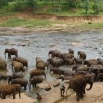 Купание слонов снимок 1.
